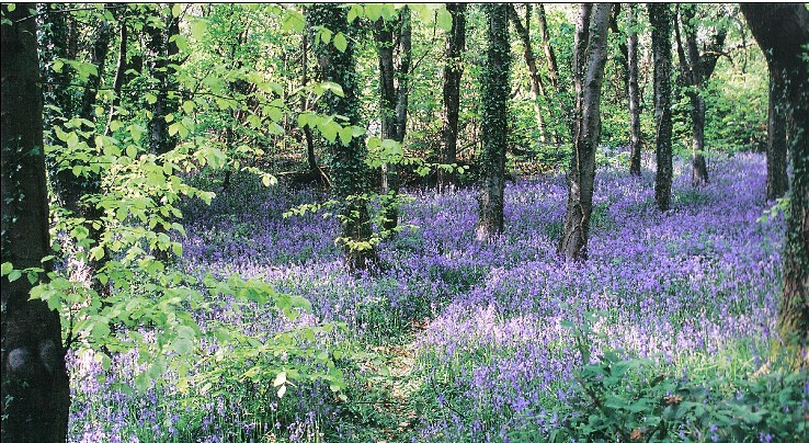 Small bluebell wood